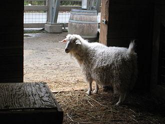 Pygora goat - A Pygora at the Oregon Zoo