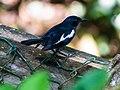 Oriental Magpie-Robin (14204530133).jpg