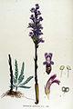 Orobanche coerulea — Flora Batava — Volume v15.jpg