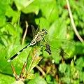 Orthetrum Sabina, Slender skimmer (female) 3.JPG