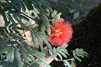 Orto Botanico di Napoli Calliandra tweedii.jpg