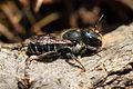 Osmia caerulescens - female - BiH 01.jpg