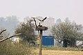Osprey - Rutland Water (4555589556).jpg