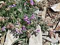 Oxytropis oreophila var oreophila 9.jpg