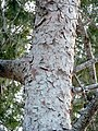 P. halepensis-bark-3.jpg