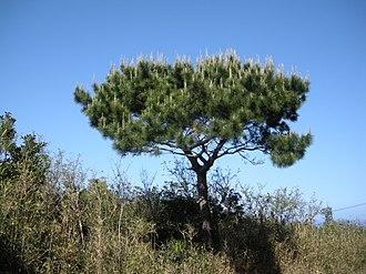 Pinus luchuensis - A lone P. luchuensis, growing on Chichi-jima Island