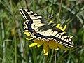 P1670367 Ο χορός της πεταλούδας 2.jpg