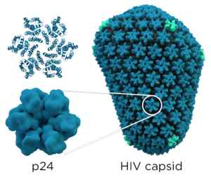 Structure and genome of HIV - The HIV capsid consists of roughly 200 copies of the p24 protein. The p24 structure is shown in two representations: cartoon (top) and isosurface (bottom)