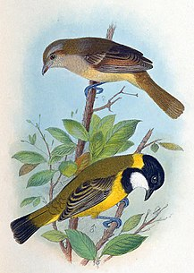 Lord Howe golden whistler subspecies of bird