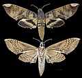 Pachylia ficus MHNT.jpg