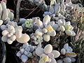 Pachyphytum (4508468877).jpg