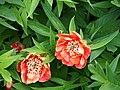 Paeonia delavayi 2015-05-17 02.jpg