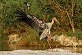 Painted stork Rangantittu.jpg