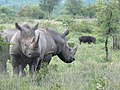 Pair of rhinos (393128281).jpg