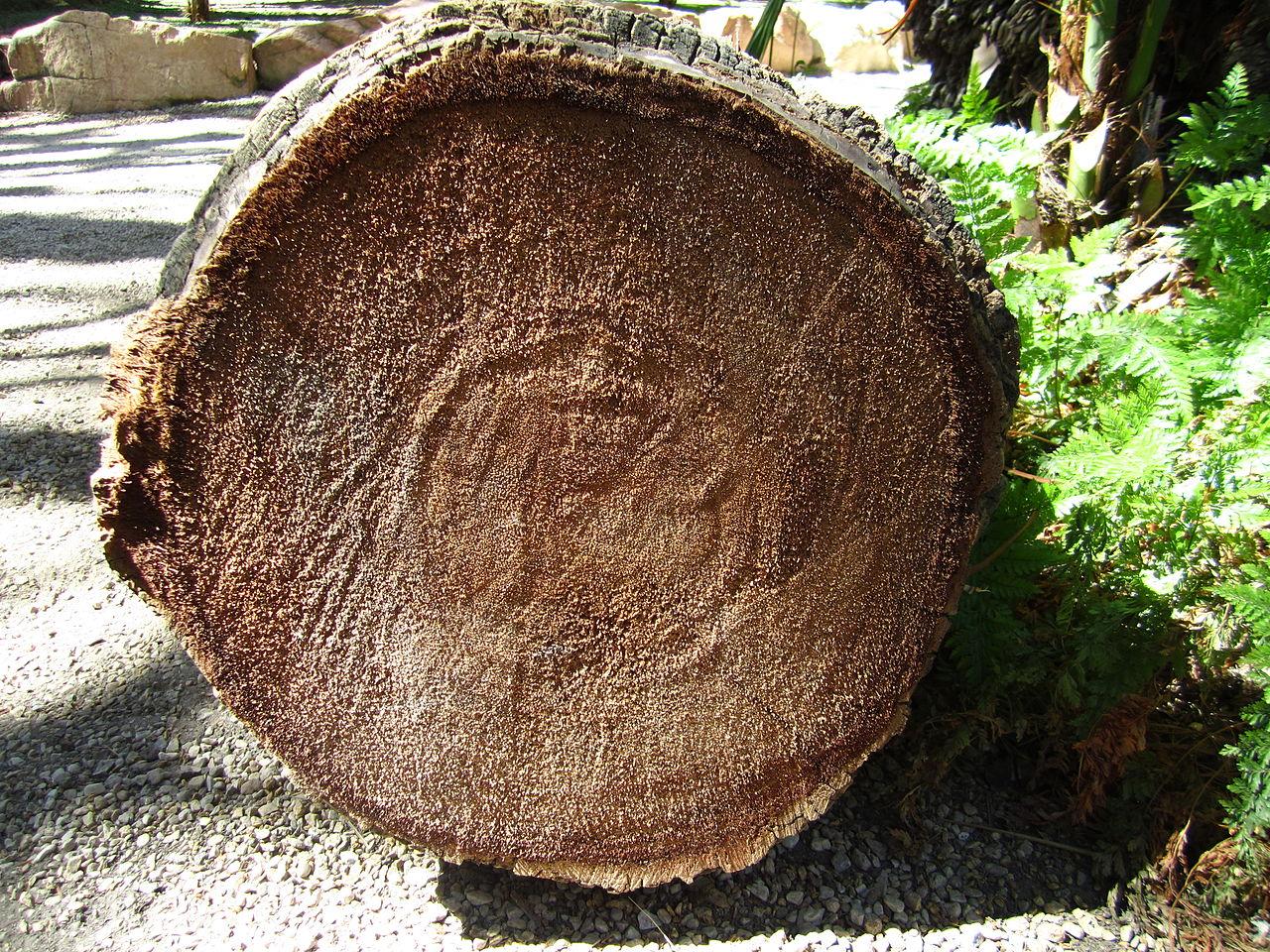 Palm Tree Rings Age
