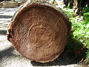 Arecaceae - Sawn palm tree trunk: Palms do not form annual tree rings.