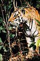 Panthera tigris tigris India Kanha.jpg