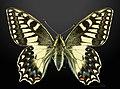 Papilio hospiton MHNT CUT 2013 3 10 Bigorno male Dorsal.jpg