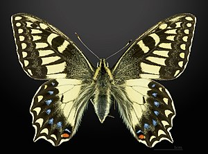 Papilio hospiton - Image: Papilio hospiton MHNT CUT 2013 3 10 Bigorno male Dorsal