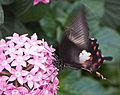 Papilio memnon4.jpg
