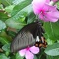 Papilio polytes - Mindanao, Philippines 5.jpg