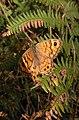 Papillon la mégère ou le satyre 3.jpg