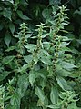Parietaria officinalis 2.jpg