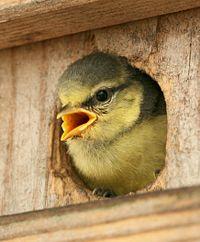 Oiseaux et notre santé dans OISEAUX 200px-Parus_caeruleus_chick