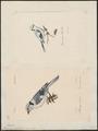 Parus cyaneus - 1700-1880 - Print - Iconographia Zoologica - Special Collections University of Amsterdam - UBA01 IZ16100135.tif