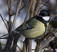 Parus major -Lyng, West Bromwich, England-8a.jpg