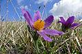 Pasque Flowers (Pulsatilla vulgaris) (17023587859).jpg