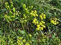 Pastinaca sativa PID1759-1.jpg