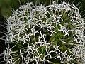 Pavetta siphonantha Dalzell (5780833589).jpg