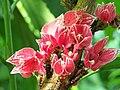 Pavonia cauliflora Goethea cauliflora 2.jpg