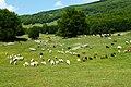 Pecore al pascolo - panoramio.jpg