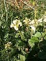 Pedicularis ascendens 001.jpg