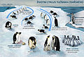 Penguin-lifecycle czech.jpg