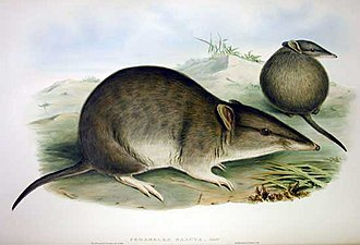 Long-nosed bandicoot - Painting by John Gould