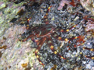 Plagusiidae family of crustaceans