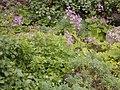 Pericallis papyracea (Puntallana) 02.jpg