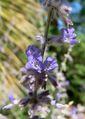 Perovskia atriplicifolia 2.jpg