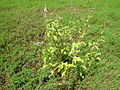 Persicaria orientalis plant2 NC (16573364653).jpg