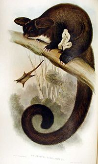 Petauroides volans Gould.jpg