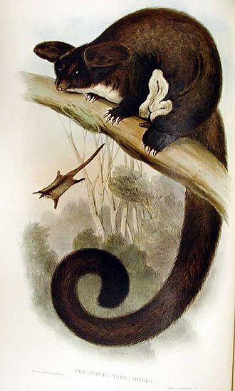 Greater glider - Image: Petauroides volans Gould