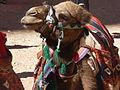 Petra - Rent-a-camel (9778997131).jpg
