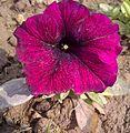 Petunia-7.jpg