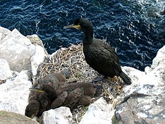 Phalacrocorax aristotelis.jpg