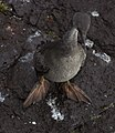 Phalacrocorax gaimardi 05.jpg