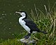 Phalacrocorax varius -Waikawa, Marlborough, New Zealand-8.jpg
