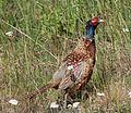 Phasianus colchicus Haukipudas 20120722 02.JPG